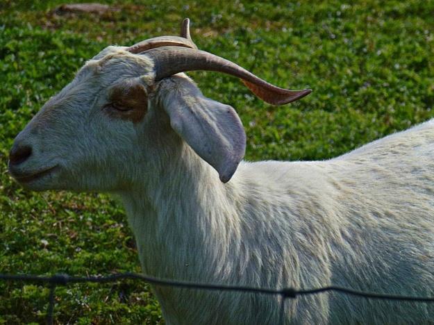 11 A goat_pe